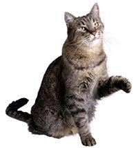 امراض القطط وعلاجها medium_1173777381.jp