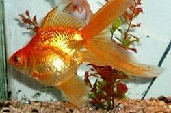 Golden Fish 2