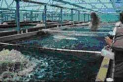 تربية أسماك البلطي النيلي Nile