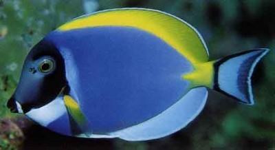 تعرف على سمكة الجراح الزرقاء