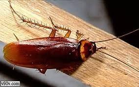 انواع الحشرات والزواحف المؤذية التى تلازمنا فى المنازل Large_1238226096